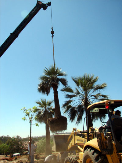 Heavy crane placing palms in the landscape