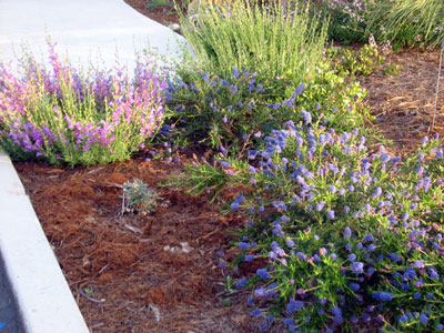 Ceanothus and Penstemon