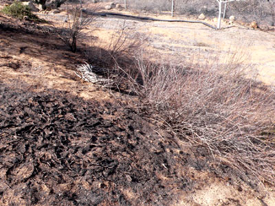 Rosemary burned to ashes; native buckwheat is only scorched