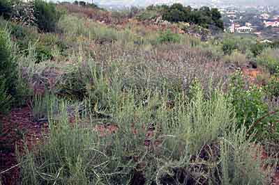 Coastal sage shrub and chaparral restoration